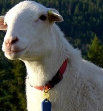 BC Premium Lamb