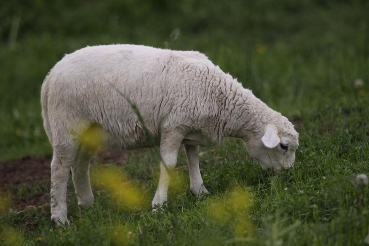 Royal White Lamb